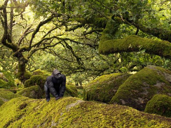 Gorilla, Wistman's Wood England