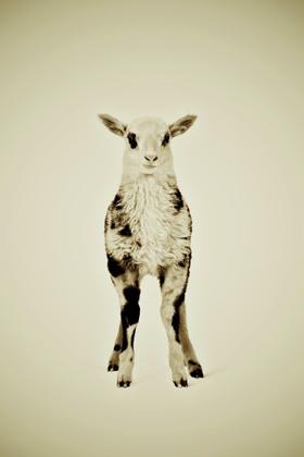 Animal Series Lamb