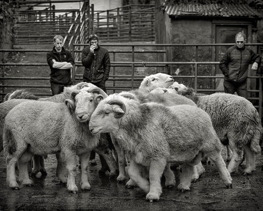 Aged Herdwick Tups, Broughton-in-Furness, 2017