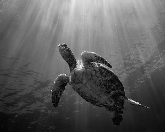 Sunbeam Honu