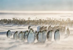 Emperor penguin colony withstands winds of 25 knots.
