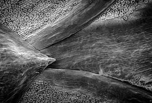 Western Red Cedar Stomata