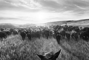 Riding Drag on the Brunsch Ranch   ©Jean Laughton