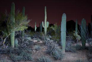 Nocturnal Arid - Saguaro National Park - Cactus