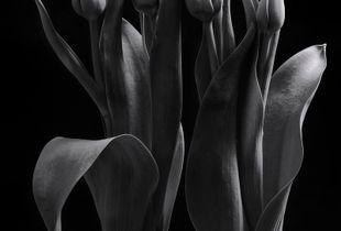 Tulips Dance #2