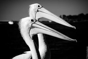 Pelicans, Noosa, Queensland, Australia