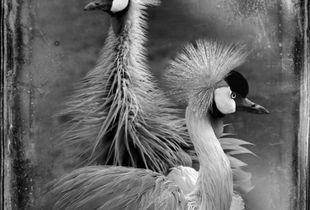 © Dianne Yudelson East African Crowned Cranes