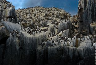The 'Farn Islands' Overpopulated