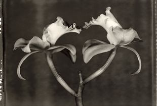 31 Cattleya intermedia var. alba © Frazier King