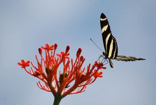 Jamaican Butterfly