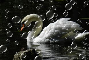 Such a swan...