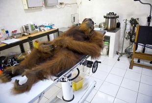 Angelo, a 14-year-old male orangutan, is waiting for medical examinations in the Sumatran Orangutan Conservation Programme center in North Sumatra. He was found with an air gun's metal pellets embedded in his body on the lands of a palm-oil plantation.