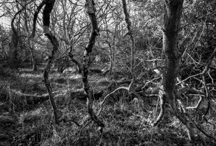 Hanging Branches (Hyons Wood)