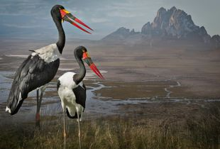 Saddle-Billed Storks, 2014. Finalist, LensCulture Earth Awards 2015.