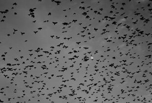 A flock of crows cover the Jesu island sky.