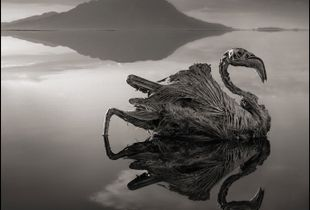 Petrified Flamingo © Nick Brandt. Courtesy of Edwynn Houk Gallery, New York