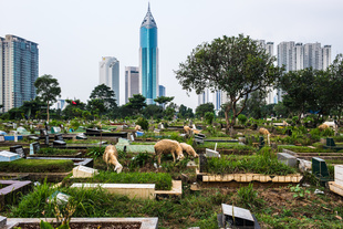 Shepherds from neighbouring villages bring their flock of sheep to graze at Karet Bivat cemetery one of the largest in Jakarta.  Wisma 46, one of the tallest buildings in Jakarta, brings sharp contrast to the scene