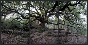 Quercus Ilex. about 500 yrs.