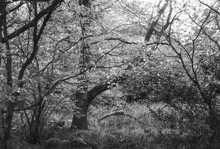 November Light (Hyons Wood)