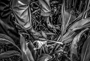 Kouwa ( force) main d'un jardinier dans la région de L'ourika (Maroc)