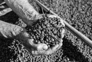 Un agriculteur prend dans ses mains quelques grains de sa production dans la commune des Martins, sud du Minas Gerais.