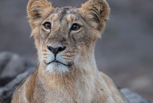 Portrait of an Asiatic lion cub
