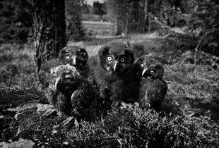 Young Boreal Owls