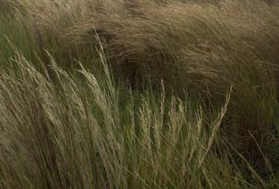 the Vanishing Blackland Prairie_grasses 5
