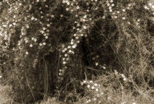 Eden, cherokee roses