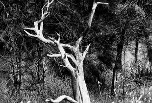 Dead Tree at Korralocking