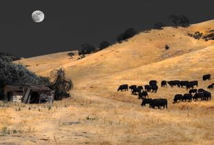Cows with Moon