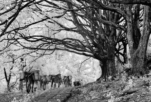 Horses and mules still ply a southern section of the road leading towards Burma from Heshun, an old village close to Tengchong, passing under a stand of old banyan trees © Michael Freeman