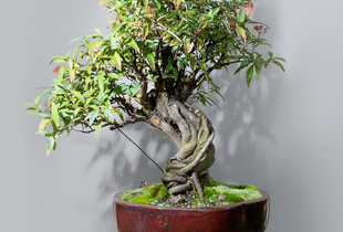 Bonsai (Mainseries)