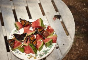 Monarch Butterflies and Watermelon