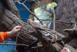 Cockatiels; Woodland Park Zoo, Seattle