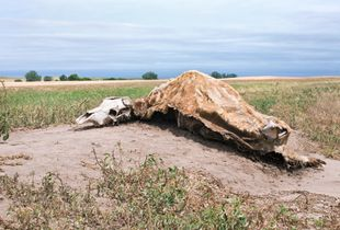 Cow Carcass, Bucklin, KS, 2008 © Patti Hallock