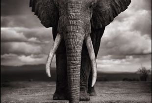 Elephant Drinking, Amboseli, 2007. Showing at Atlas Gallery. Courtesy of Photo London.
