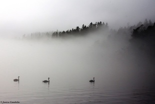 Mute swans in April fog