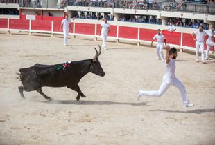 Course Camarguaise, traditional no-kill bullfight.