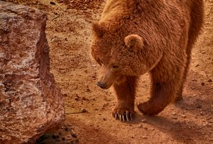 A brown bear (Ursus arctos) is approaching.