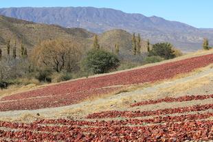 Los Pimientos RojosCachi Valley, Argentina