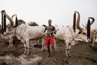 Mundari, Cattle of Kings.