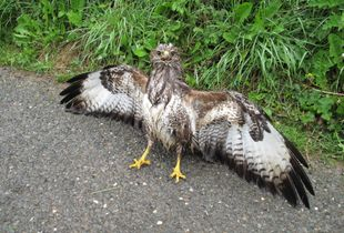 Drenched Buzzard