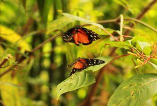 Butterflie's dance