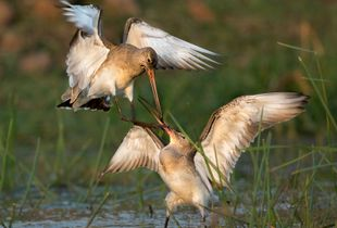 ENCOUNTER OF GODWIT2