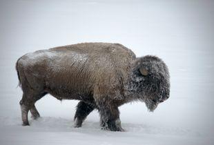 Snow on Bison