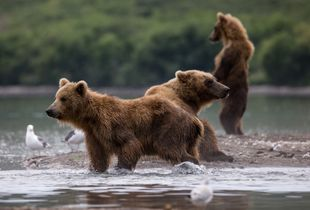 The human bears
