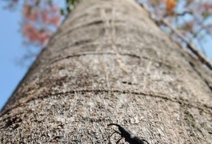 Curculionidae beetle, king of the tree