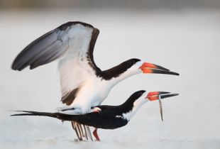 Black Skimmer Copulation