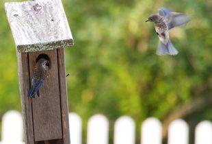 Baby Bluebirds - © Adel Korkor